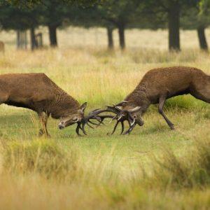 la berrea del ciervo, un espectaculo en la naturaleza. sierra de cazorla