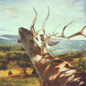 berrea del ciervo en otoño